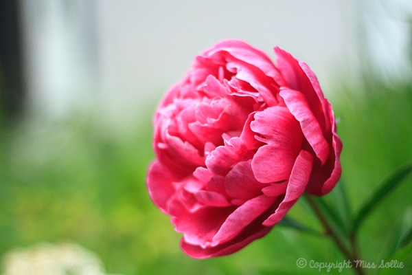 Peony in our new garden. My favourite flower.